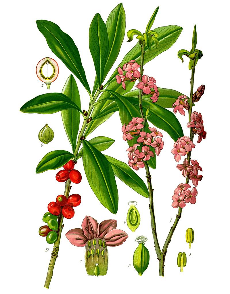 Волчеягодник обыкновенный, или волчье лыко (лат. Dáphne mezéreum)