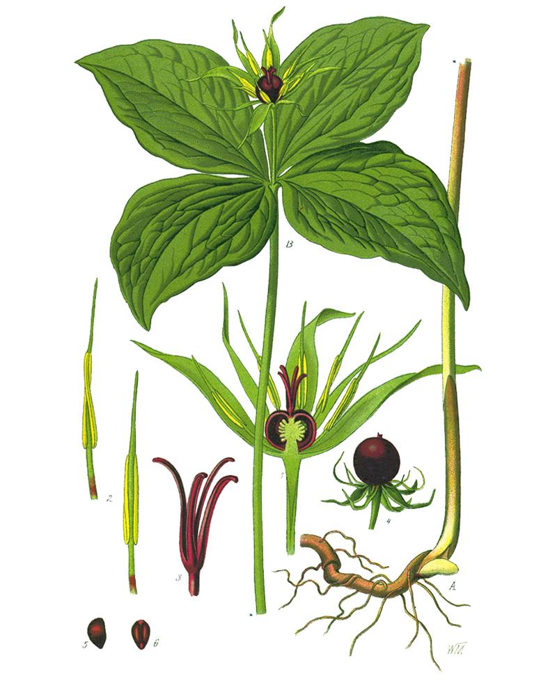Вороний глаз (лат. Paris quadrifolia)