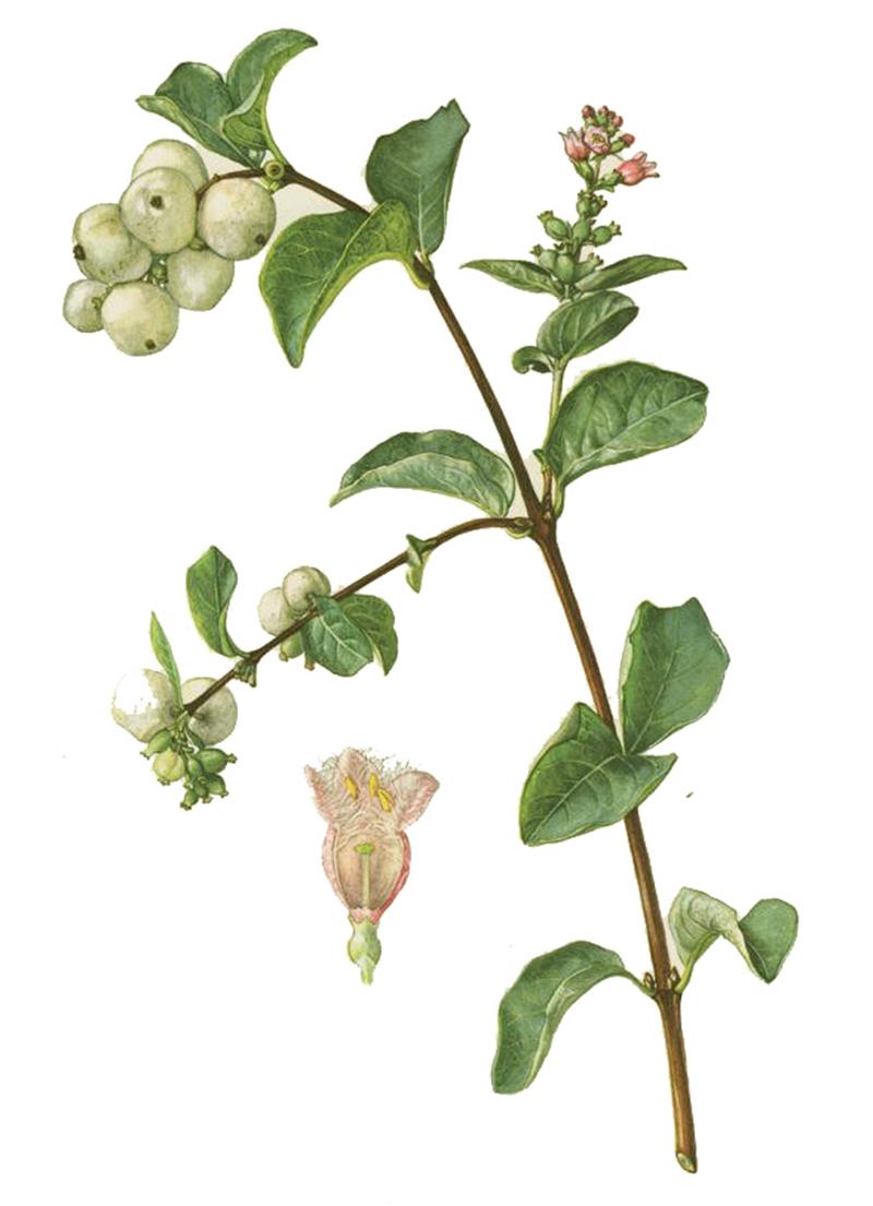Снежноягодник белый (лат. Symphoricarpos albus)