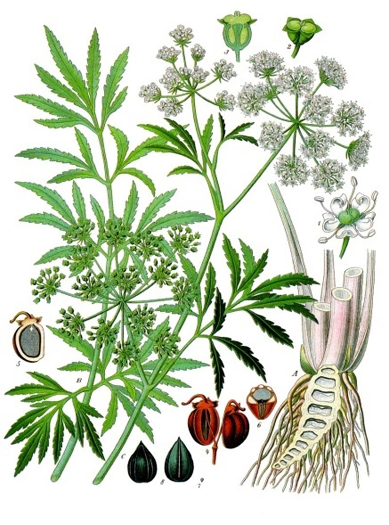 Вех ядовитый, или Цикута (Cicuta virosa)