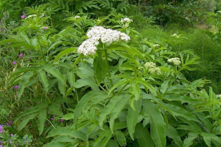 Бузина дикая, или травянистая (лат. Sambucus ebulus)