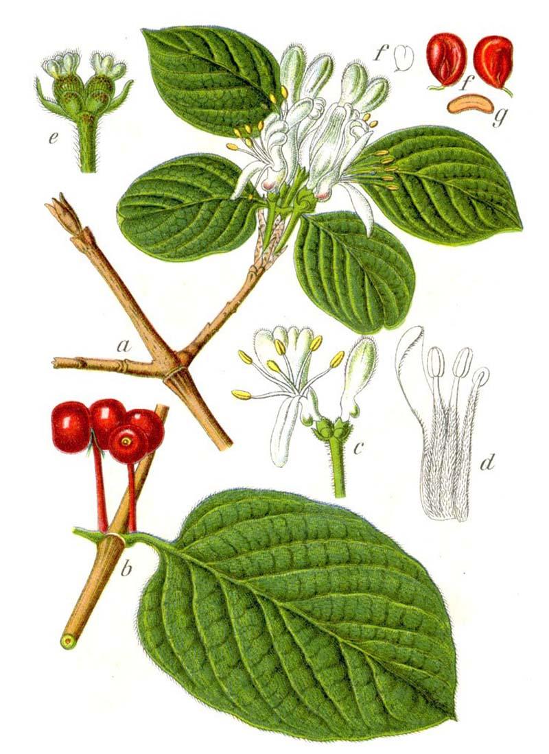 Жимолость лесная, или волчья ягода (лат. Lonicera xylosteum)