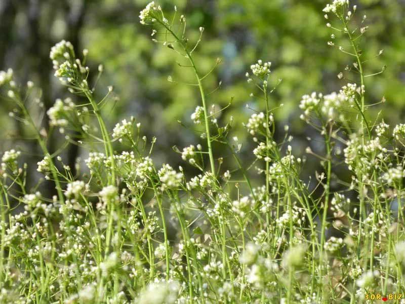 Пастушья сумка обыкновенная (лат. Capsélla búrsa-pastóris)