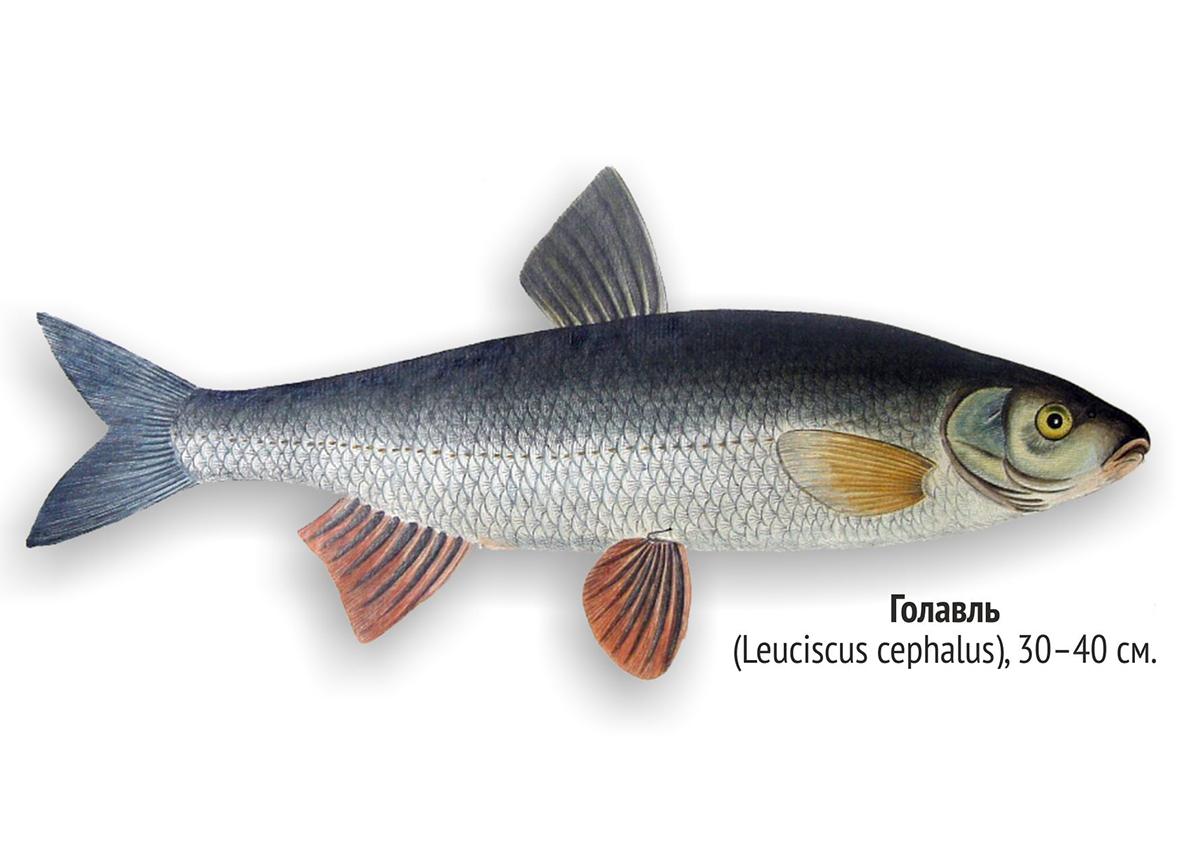 Голавль (лат. Squalius cephalus)