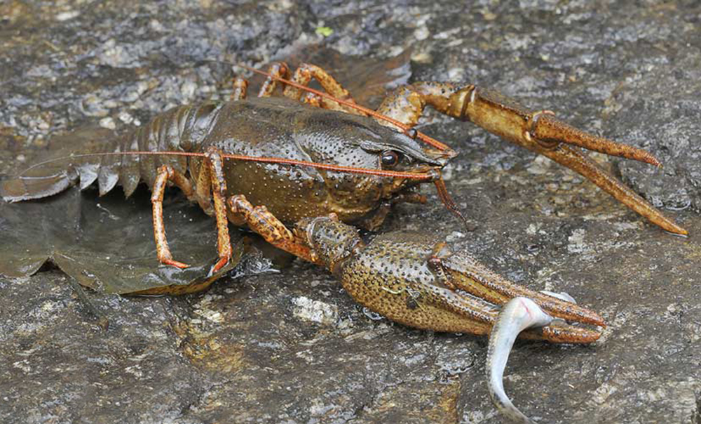 Речной рак (лат. Astacus astacus)