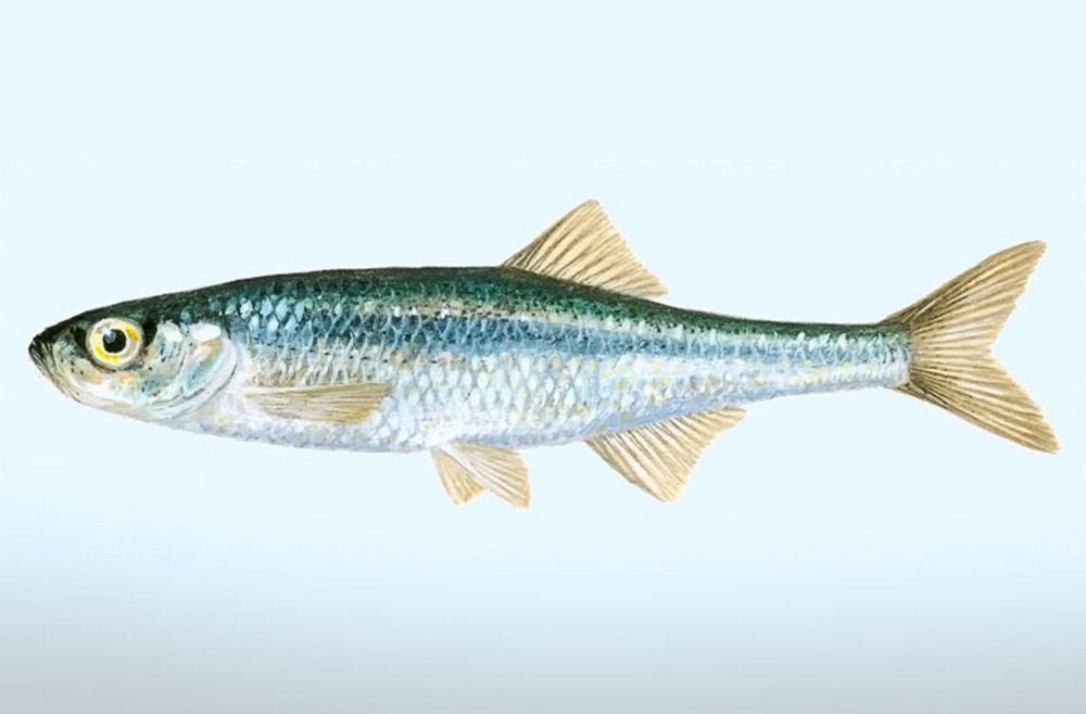 Верховка (лат. Leucaspius delineatus)
