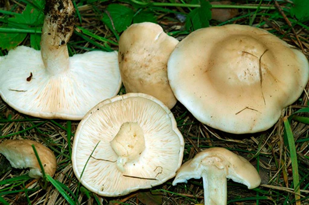 Рядовка майская, или майский гриб (Calocybe gambosa)