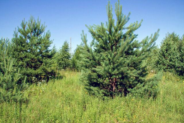 Еремеевские сосновые лесопасадки