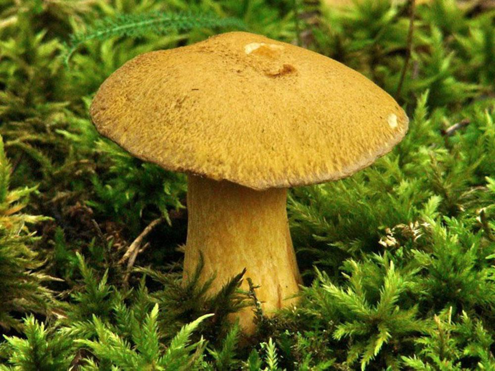 Моховик, или маслёнок желто-бурый (Suillus variegatus)