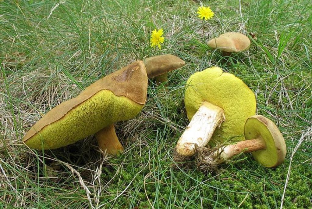 Моховик зеленый (Xerocomus subtomentosus)
