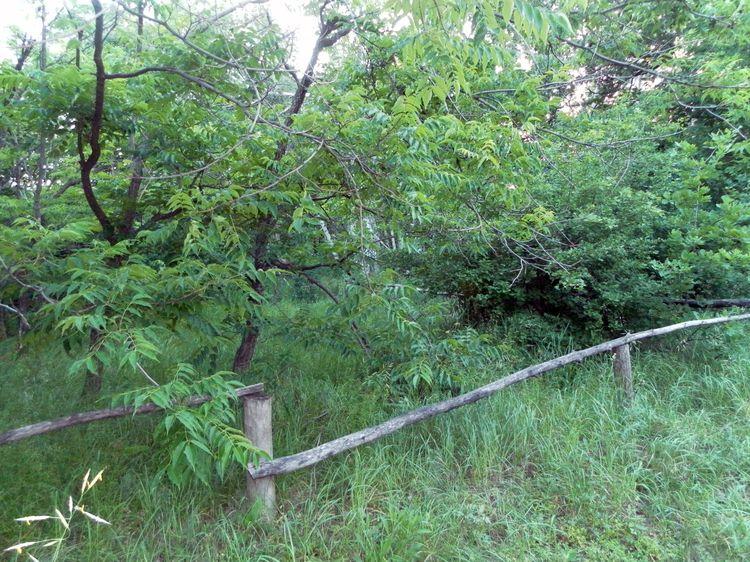 Роща бархата амурского