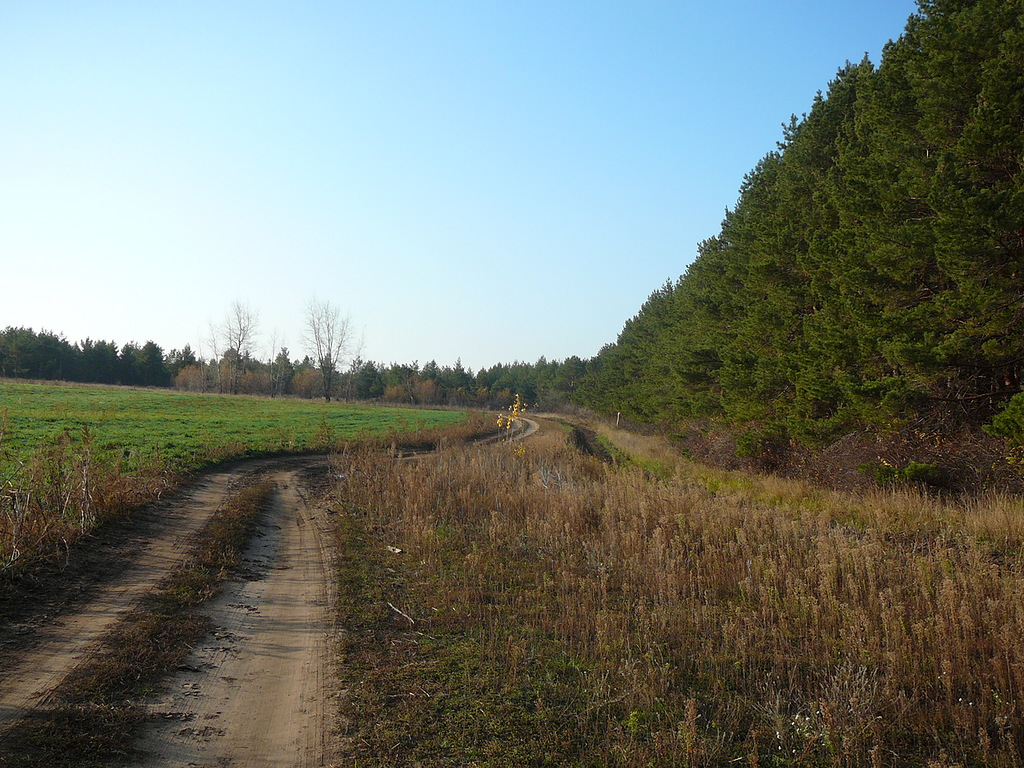 Луговские сосновые посадки (Звонаревские)