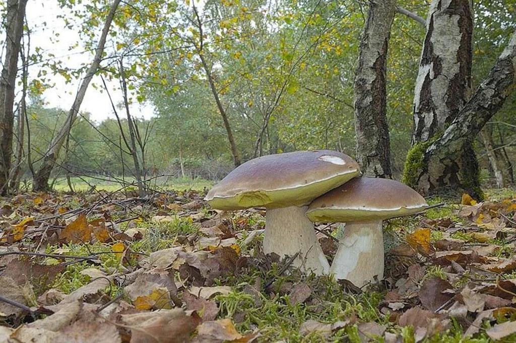 Белый гриб берёзовый, или колосовик (лат. Bolétus betulícola)