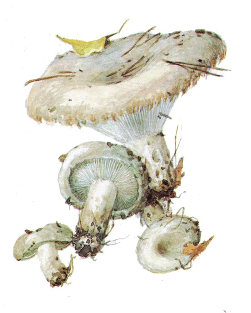 Груздь настоящий (лат. Lactarius resimus)
