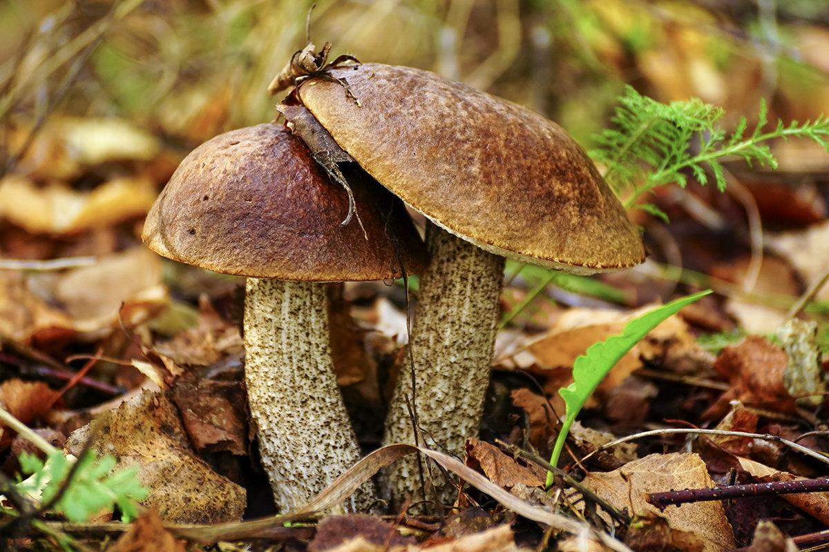 Подберёзовик (Leccinum scabrum)