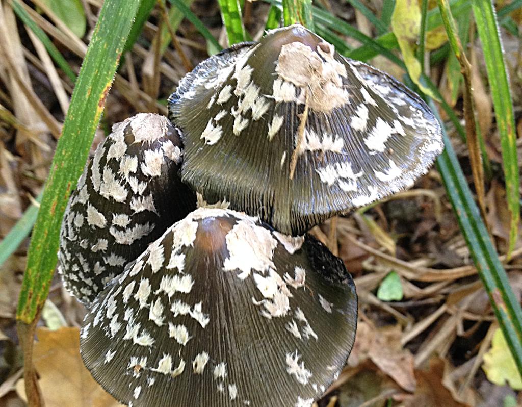 Навозник дятловый (лат. Coprinopsis picacea)
