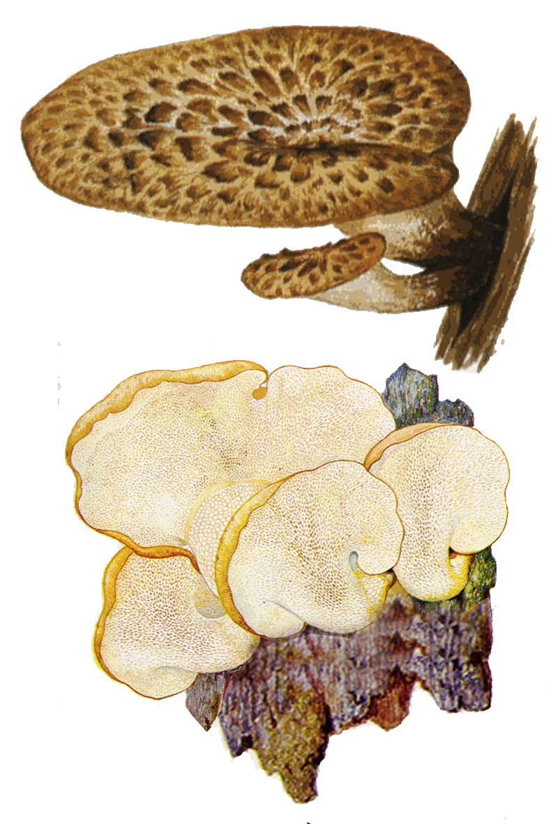 Трутовик чешуйчатый, или Пеструшка (Polyporus squamosus)