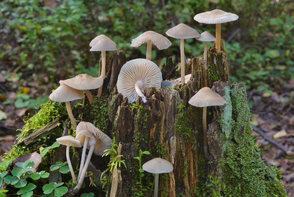 Мицена колпаковидная (Mycena galericulata)