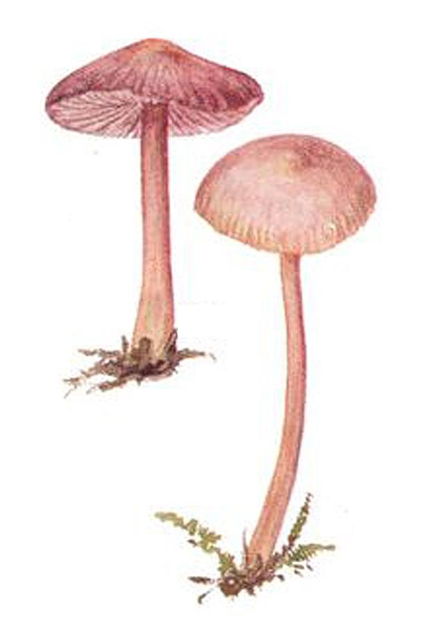 Мицена чистая (лат. Mycena pura)
