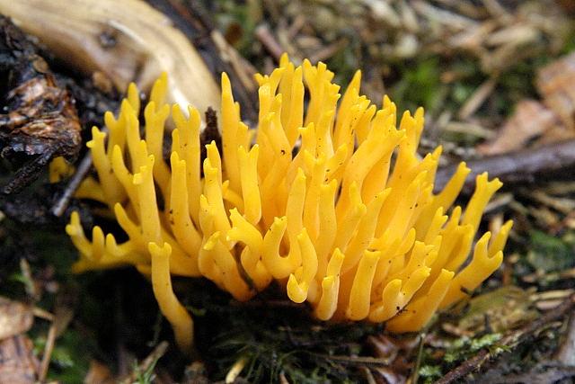 Калоцера клейкая (Calocera viscosa)