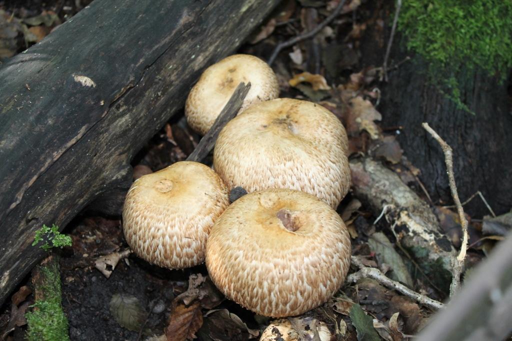 Шампиньон лесной (Agaricus silvaticus)