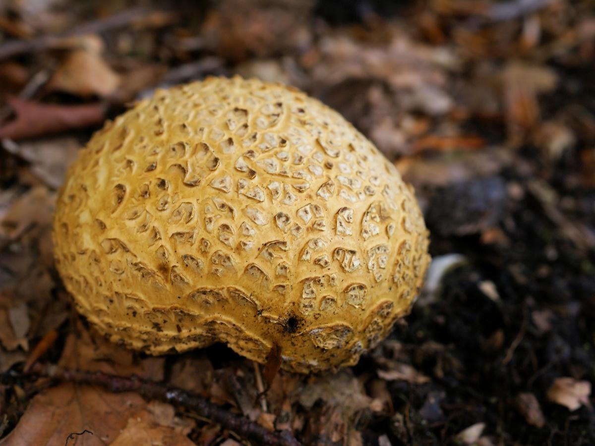Ложнодождевик обыкновенный (лат. Scleroderma citrinum)