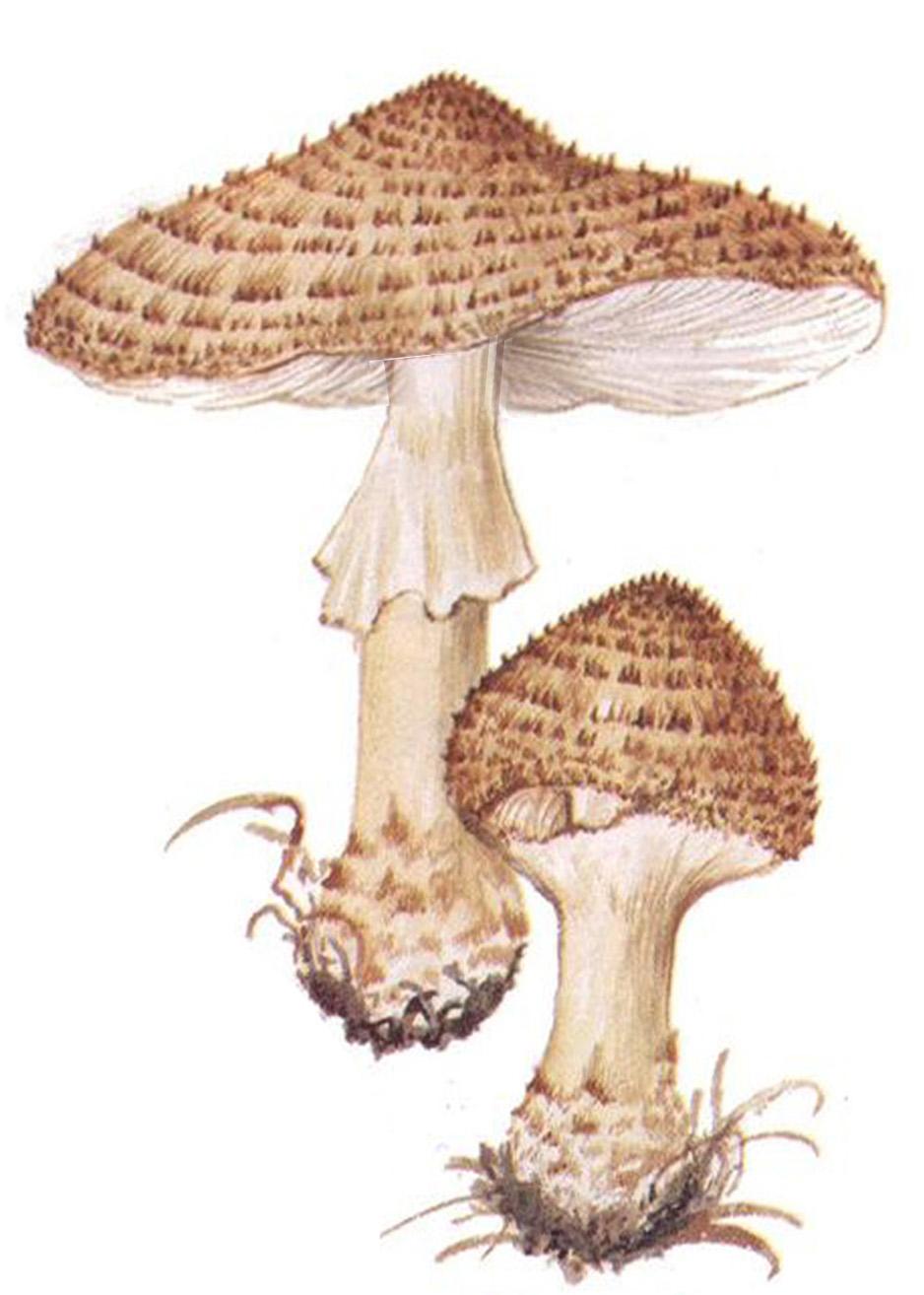 Зонтик чешуйчатый (Lepiota brunneoincarnata)