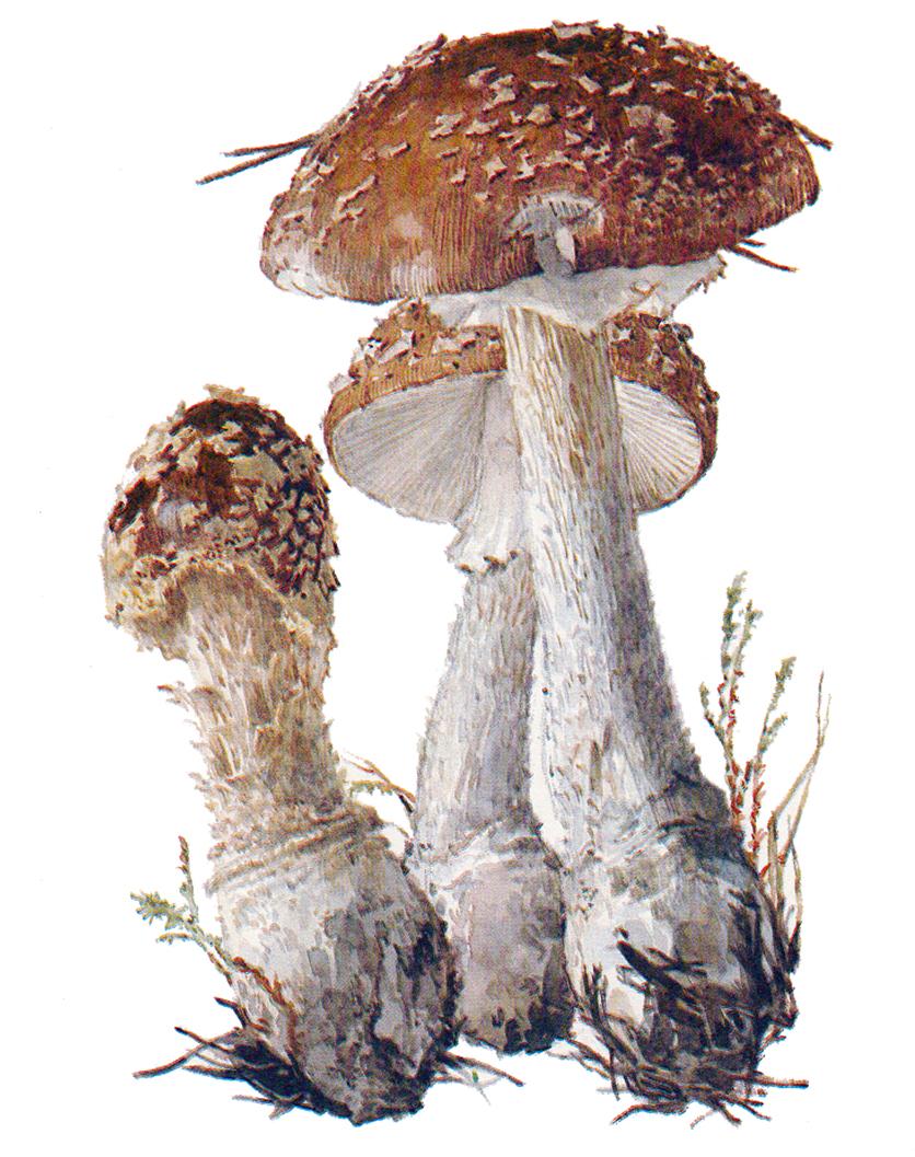 Мухомор королевский (Amanita regalis)
