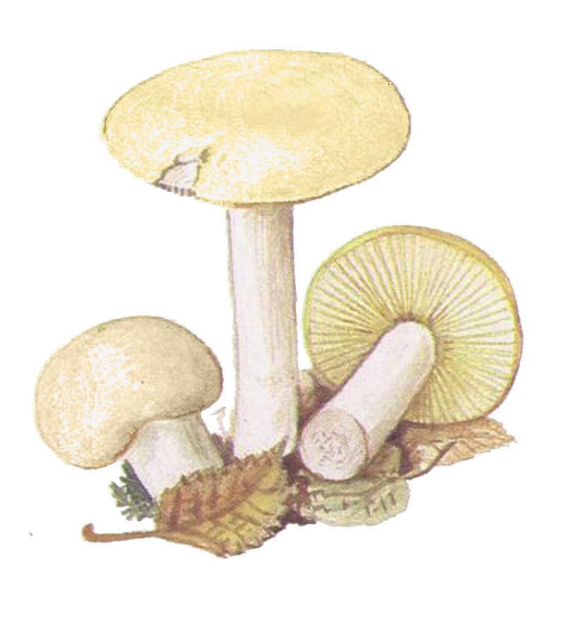 Валуй ложный, или хреновый гриб (Hebeloma crustuliniforme)