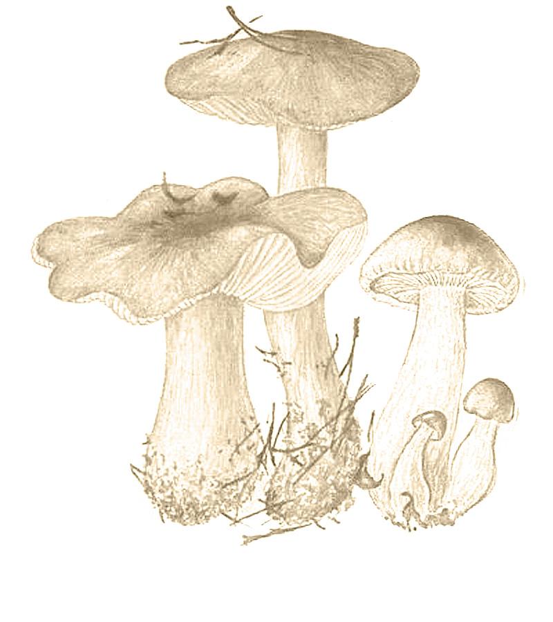 Энтолома ядовитая (Entoloma sinuatum)