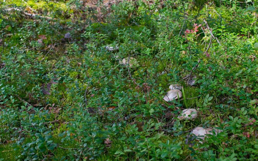 Паутинник козий (Cortinarius traganus)