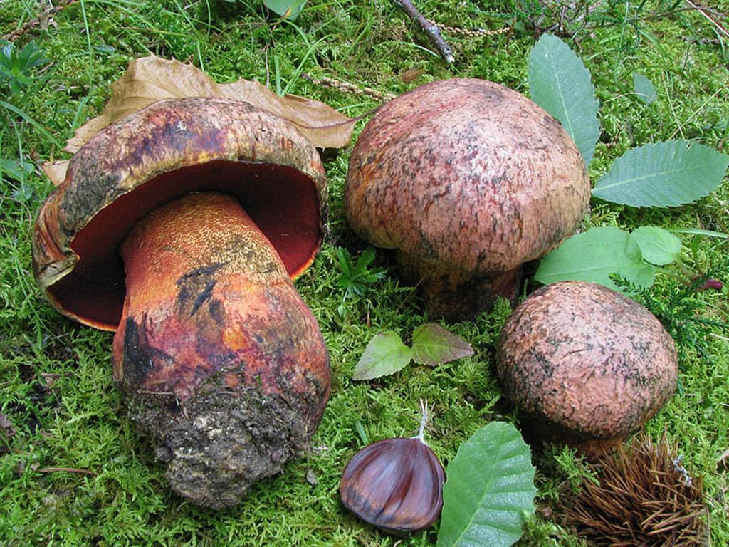Боровик пурпурный, или императорский (Boletus purpureus)