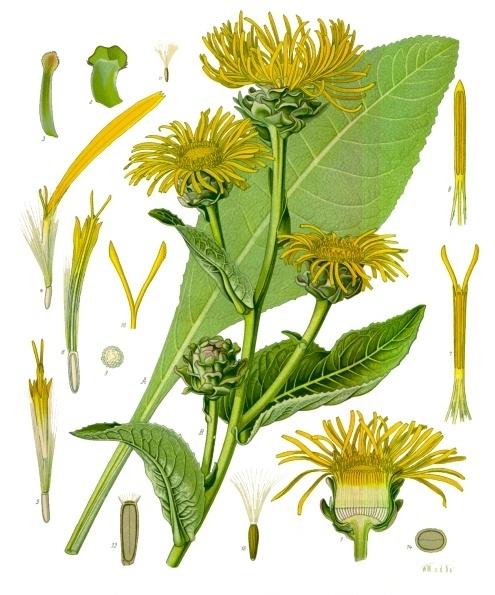Девясил или Жёлтый цвет (лат. Ínula helénium)