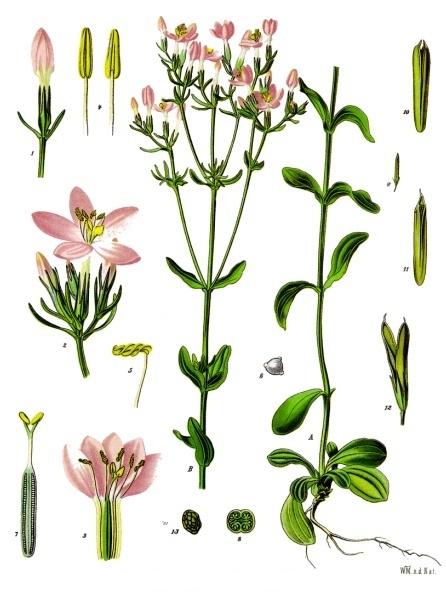 Золототысячник обыкновенный (лат. Centáurium erythraéa)