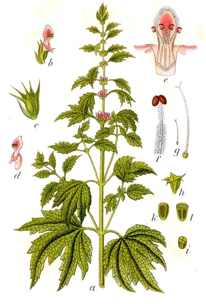 Пустырник обыкновенный (лат. Leonurus cardiaca)