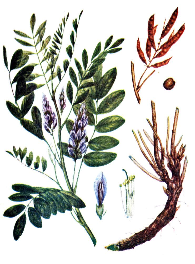 Солодка голая, или лакрица (лат. Glycyrrhí́za glábra)
