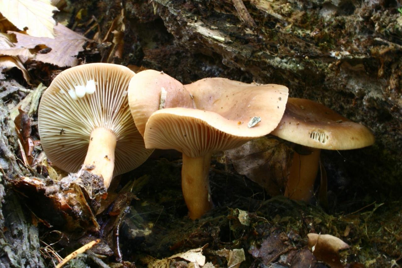 Краснушка, или сладкий груздь (Lactarius subdulcis)