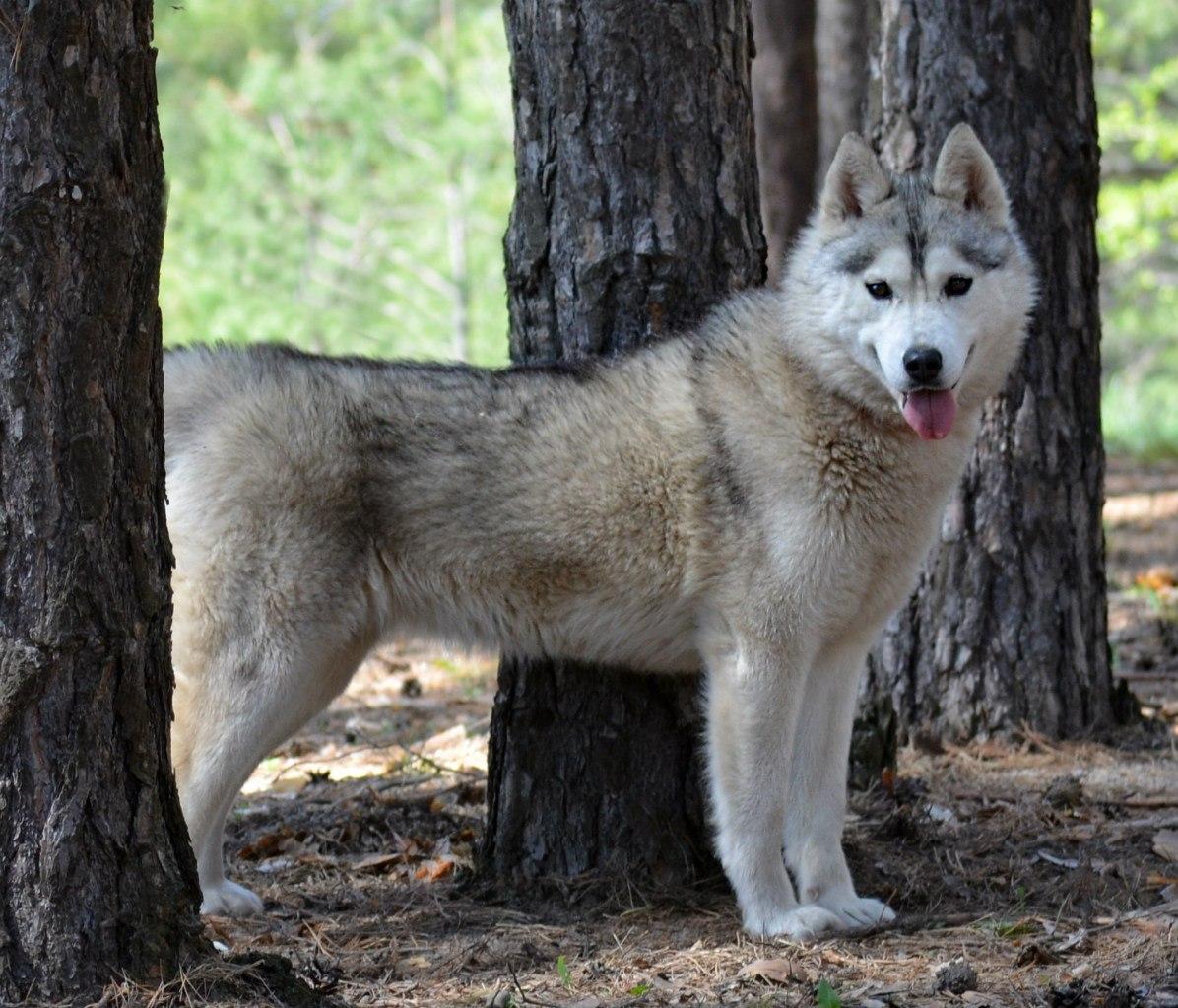 Питомник сибирских хаски «Dog Winter»