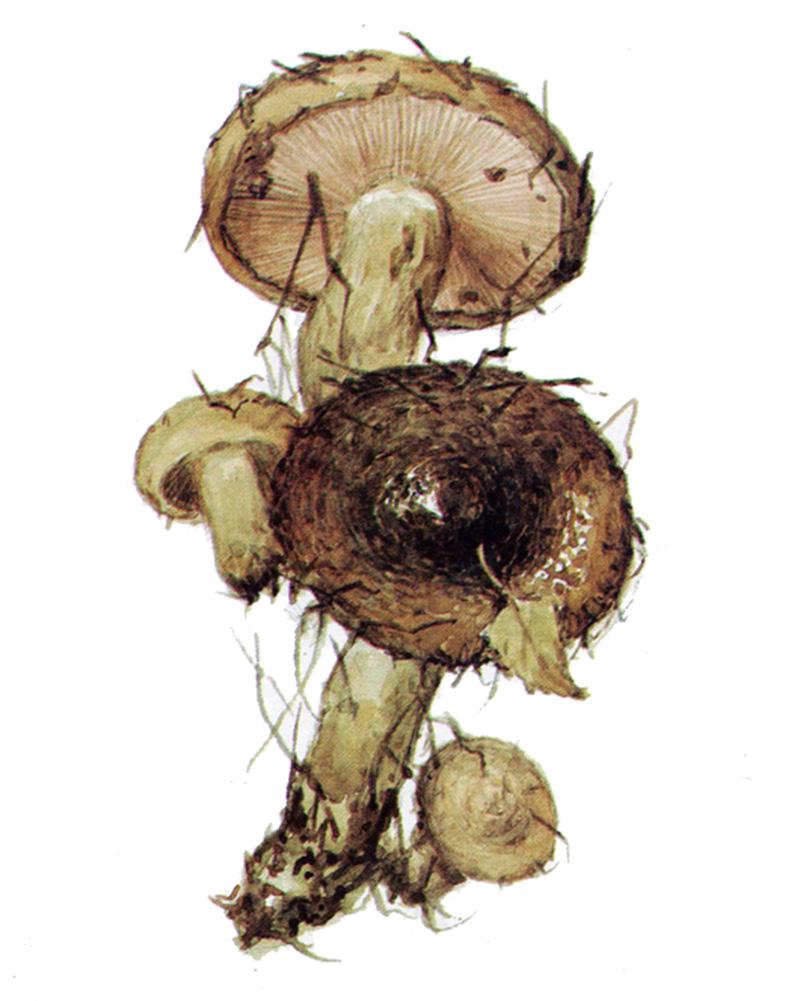 Груздь  чёрный (лат. Lactarius necator)