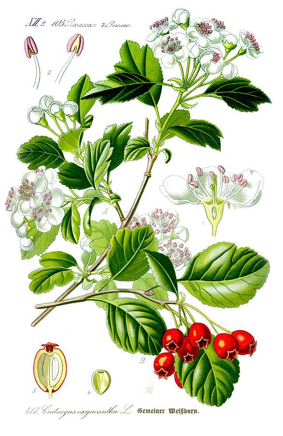 Боярышник обыкновенный (лат. Crataegus laevigata)