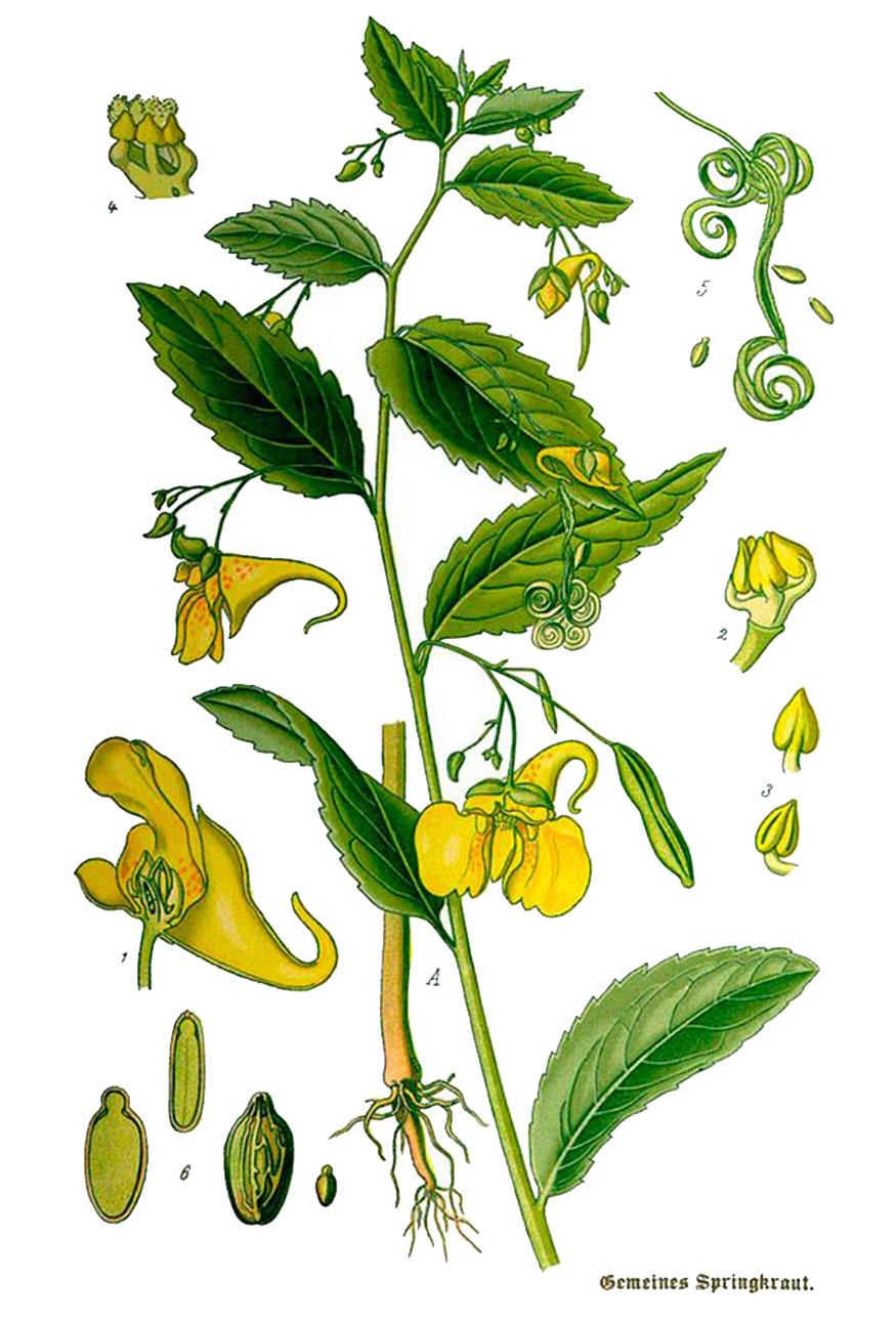 Бальзамин лесной (лат. Impátiens nóli-tángere)