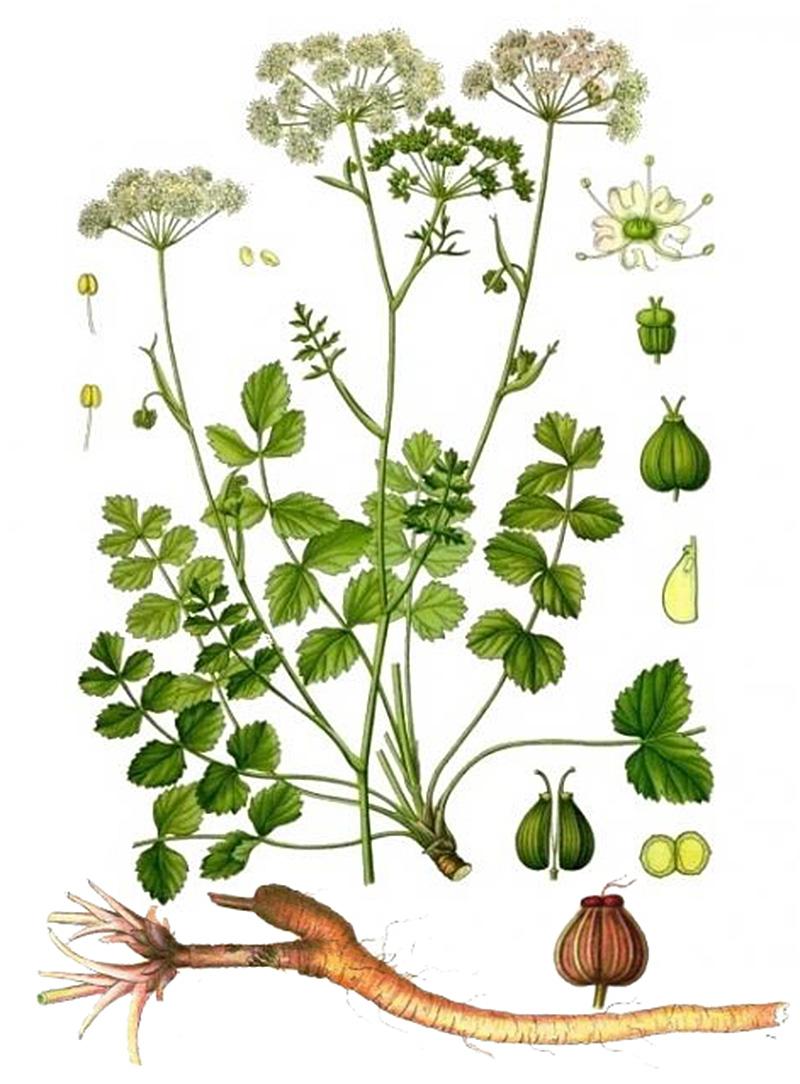 Бедренец-камнеломка (лат. Pimpinélla saxífraga)