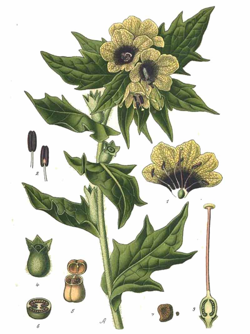 Белена черная (лат. Hyoscýamus níger)