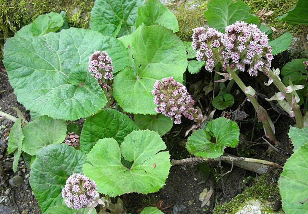 Белокопытник лекарственный (лат. Petasites officinalis)