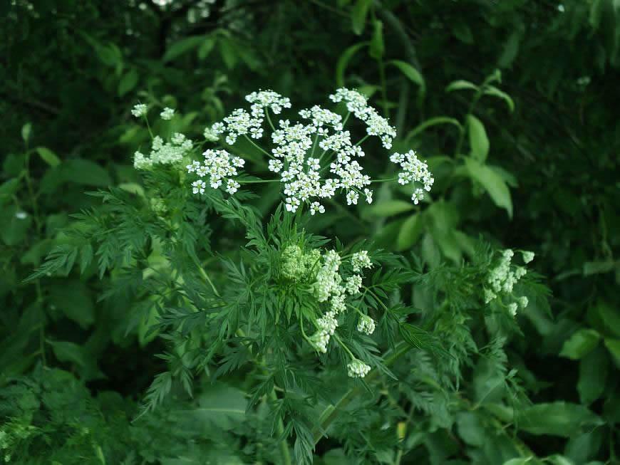 Болиголов пятнистый (Conīum maculātum)