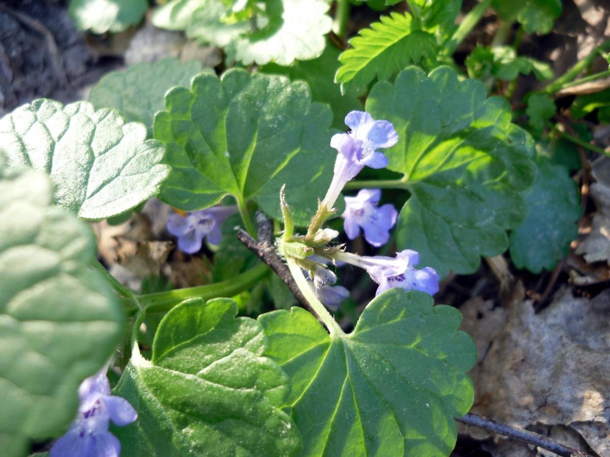 Будра плющевидная, или собачья мята (лат. Glechóma hederácea)