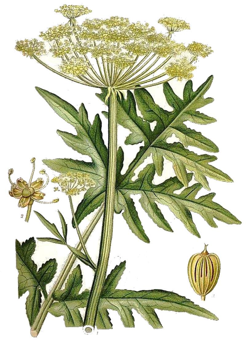 Борщевик рассеченный (лат. Heracleum dissectum Ledeb)