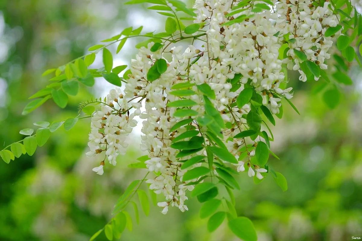 Акация белая (лат. Robinia pseudoacacia)