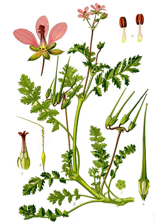 Аистник обыкновенный (лат. Eródium cicutárium)