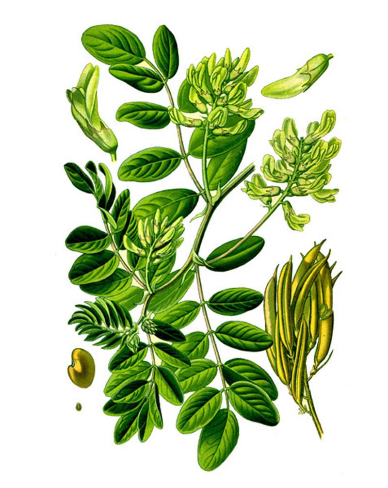 Астрагал солодколистный (Astragalus glycyphyllus L.)